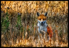 Inquisitive Fox (awardphotography73) Tags: forestfarm sigmalens nikon7200 animal summerevening wales cardiff nature wildlife fox