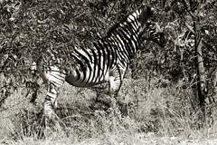 Zebra _4546-2 (hkoons) Tags: etoshanationalpark etoshapan nationalpark nebrowniiwaterhole southernafrica africa african etasha kunene namibia okaukuejo oshana oshikoto otjozondjupa tree animals growth park plants vegetation wild