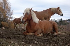 MY HAFLINGER FRIENDS (HERBSTBRAUN . AUTUMN BROWN) (LitterART) Tags: haflinger horse herd sonyrx100 horses pferde pferd lyinghorse liegendespferd herde steiermark österreich styria austria brun brown herbst alm autumn