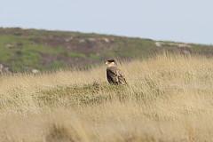 Southern Caracara (Bird Aficionado Stan) Tags: falklandislands falklands newisland raptor caracara southerncaracara