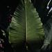 (Mamiya) Leaf