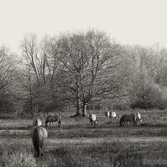 Konik Horses (enneafive) Tags: konik horses naturereserve nature animals monochrome pastoral fujifilm xt2 affinityphoto tongeren limburg belgium meadow trees grass