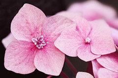 Hydrangea 2019-01-03 (5D_32A7563) (ajhaysom) Tags: hydrangea flower 100flowers2019 image1100 canoneos5dmkiii canon100mmlmacro melbourne australia