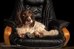 45/52 ready to look at the television (Flemming Andersen) Tags: 52weeksfordogs zigzag black chair dog remote spaniel hurupthy northdenmarkregion denmark dk