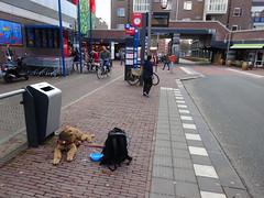 2018-0094 (schuttermajoor) Tags: airedaleterrier hond nederland che 2018 pionierspad