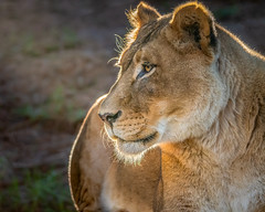 Lioness Oshana (helenehoffman) Tags: pantheraleo africa conservationstatusvulnerable felidae sandiegozoosafaripark bigcat lion cat lioncamp oshana carnivore mammal animal specanimal coth5