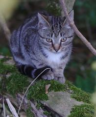 Kitten at the castle of Morsan (stanzebla) Tags: cats chats katzen kätzchen kittens chatons