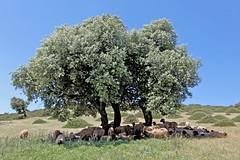 TROUPEAU À L'OMBRE RÉGION D'AZROU - MAROC (mimi.deparis21) Tags: morocco maroc azrou troupeau moutons arbres vert bleu paysage nature