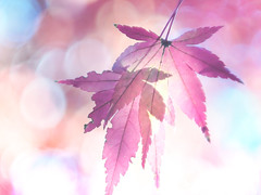 nursing you, healing you (Tomo M) Tags: nature autumnleaves light autumn backlit outdoor bokeh leaves helios モミジ japanesemaple 紅葉 scratch abigfave