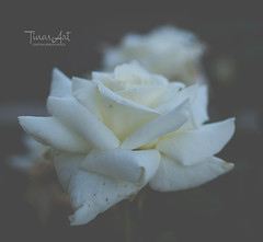 DSCF0178 (Tinas Art *) Tags: art white fineart fujifilmxt2 roses fineartphotography flowerpower flowerphotography naturephotography garden mygarden