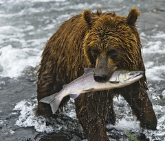This fish is all mine! (paolo_barbarini) Tags: bear animals wildlife nature fish fishing kamchatka russia orsi pesca salmon cub