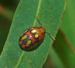Gumleaf Beetle male,Paropsisterna debilis. (ron_n_beths pics) Tags: westernaustralia perthbushlands coleoptera beetles paropsisterna