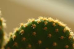 Fensterbank-Sonne (Frau Koriander) Tags: kaktus kakteen cactus nature plant natur pflanze zimmerpflanze stachel piekst grünerkaktus nikond300s meyergörlitzdomiplan 5028 green grün zwischenringe zwischenring extensiontubes extensiontube macro makro makroaufnahme closeup light licht lighting details
