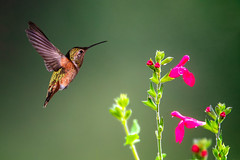 Eyeing the Flower (Patricia Ware) Tags: 500mmf4lisusm allenshummingbird backyard birdsinflight california canon manhattanbeach multipleflash selasphorussasin tripod ©2018patriciawareallrightsreserved specanimal sunrays5