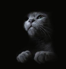 Georgi, our Russian Blue (Rich Saunders) Tags: russianblue cat feline kitten greeneyes pedigree thoroughbred