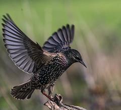 Somerset Levels (Cromwell's Boy) Tags: dunnock starlings greylake somersetlevels explore flickr starling flight birdsinflight landing rspb flying