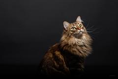 Mimi la Souris. (LACPIXEL) Tags: chat cat gato portrait retrato nikon nikonfr d850 flickr 365 lacpixel amyff couleurs colours colores elinchrom studio study animal pet mascota