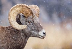 Almost Full Curl... (DTT67) Tags: ram bighornsheep mammal animal 500mmii 1dxmkii canon wyoming snowfall mountains wildlife nature