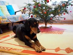karácsonyi lazítás / Christmas relaxation (debreczeniemoke) Tags: ünnepekután afterholidays karácsonyfa christmastree kutya dog frakk erdélyikopó transylvanianhound transylvanianbloodhound olympusem5