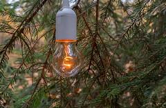 Sind die Birnen reif, oder ist schon Weihnachten? (Maik Kregel) Tags: maikkregel sony a6500 glühlampe glühbirne lampe natur grün licht