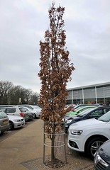 Oak tree 10:365 (3:740) (♔ Georgie R) Tags: oaktree countyoak crawley sussex