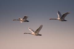 Swan (real.jtj) Tags: bird swan svan sweden sverige fågel nynäshamn stockholm wildlife