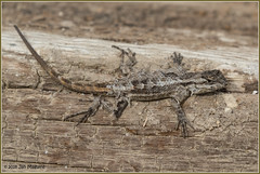 A New Skin 1153 (maguire33@verizon.net) Tags: southcoastbotanicgarden lizard moult shed shedding wildlife palosverdespeninsula california unitedstates us