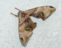 DSC_0673 (tankokher) Tags: 100mm tokina home d7000 closeup macro nature insect moth