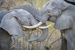 Clash of the Titans (DTT67) Tags: elephants fighting wildlife tusks bullelephants mammals animals africa canon southafrica 500mm nature 1dxmkii