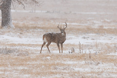 White-tailed Deer buck weathers the snow