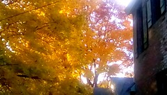 Golden Autumn Leaves! (Maenette1) Tags: autumn mapleleaves golden backyard menominee uppermichigan flicker365 allthingsmichigan absolutemichigan autumninmichigan projectmichigan