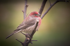 Pretty Red Finch on the Perch (Zoo Much Information) Tags: aves branch nature bird czyn7fo outdoors green perched pretty finch red