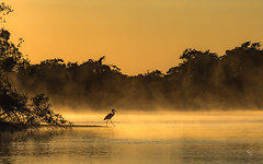 misty morning in Pantanal (ciwi.photography) Tags: mist fog moring glow reiher pantanal brasil brasilien trees river rio riocuiaba heron water wasser fluss bäume vogel bird