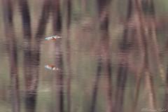 En route (bertrand kulik) Tags: martinpêcheur oiseau bird nature reflet water eau