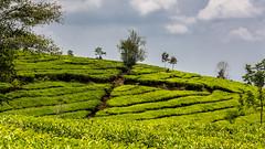 Visit to a tea plantation (Hans van der Boom) Tags: holiday vacation indonesia indonesië asia java westjava tea plantation green id