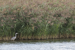 Héron cendré dans les roseaux (Richard Holding) Tags: bird eure heron héron héroncendré m43 nature normandie oiseau olympus omd wildlife