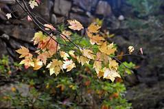 LEAVES5 (KayLov) Tags: swannanoa scenery asheville grove park inn leaves foliage