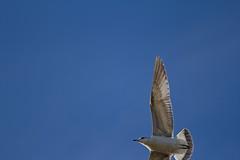 Nothing but blue sky (ArtGordon1) Tags: davegordon davidgordon daveartgordon davidagordon daveagordon artgordon1 winter hollowpond hollowponds leytonstone london england uk january 2019 bird birds gull seagull