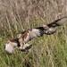 Snail Kites (ruthpphoto) Tags: bird animal snailkites
