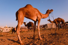 Pushkar fair (irrfanazam) Tags: flickrtravelaward cattle fair pushkar rajasthan india camel camellove sand sky photography street streetphotography evening festival early buying sell desert dune dusk travel golden traders trade sunset landscape