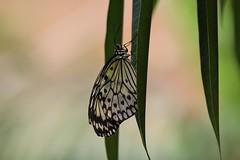 The Paper Kite - Le Grand Planeur (Nature Box) Tags: paperkite idealeuconoe img8107