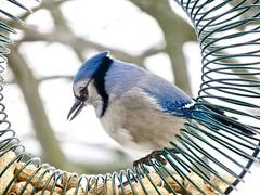 A coy bluejay?? (Meryl Raddatz) Tags: nature wildlife naturephotography bluejay bird ngc
