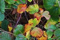 Late autumn leaves (macfish1) Tags: leaves yellow green orange brown leaf bramble gold formby