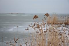 Sula Mörbischis (anuwintschalek) Tags: nikond7000 d7k 18140vr austria burgenland mörbisch mörbischamsee neusiedlersee thaw tauwetter see lake järv jää ice eis talv winter january 2019 seebadmörbisch kõrkjad schilf reeds