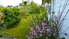 Massey, West Auckland (Sandy Austin) Tags: panasoniclumixdmcfz70 sandyaustin massey westauckland auckland northisland newzealand spring nature flowers peach