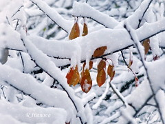 Winter (R_Ivanova) Tags: nature winter snow tree leaf branch white cold color outdoor sony rivanova риванова зима природа дърво клони листа сняг растения fav20