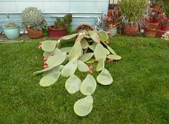The BIG storm.... (candyruth) Tags: pricklypear cactus fellapart petaluma bigstorm highwinds frontyard