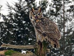 Oliver Great Horned Owl CRC IMG_2852 (Jennz World) Tags: ©jennifermlivick canadianraptorconservancy vittoria ontario canada greathornedowl owl bird raptor snow winter