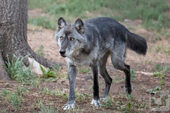 Circumspect Progress (Theodore A. Stark) Tags: ifttt 500px wolves 2018 animals black phase timber canon captured co colorado wolf wildlife center cwwc divide gps july keyni male stark summer ted teller county theodore a tstarkcom usa blackphasetimber coloradowolfandwildlifecenter tedstark tellercounty theodoreastark unitedstates