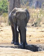 _DSC9642 (acomb) Tags: tanzania roadtrip elephant tandala ruaha